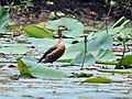 Lesser Whistling-duck in Kolkata in a Lotus pond I2- IMG 2674.jpg