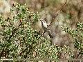 Lesser Whitethroat (Sylvia curruca) (43618320500).jpg