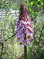 Leutratal-Orchis-purpurea-2383.jpg