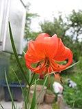 Lilyum pumilum (Çiçek) 1.JPG