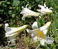 Lilium regale 'Album', Parc Floral de Paris, France - 20100704.jpg