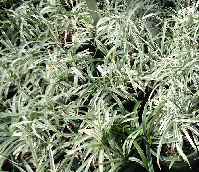 File:Lily Turf Silver Deacon plants growing in NJ in April.jpg