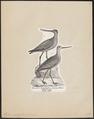 Limosa aegocephala - 1809-1845 - Print - Iconographia Zoologica - Special Collections University of Amsterdam - UBA01 IZ17400015.tif