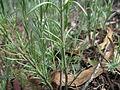 Linaria arvensis leaf1 (15100898788).jpg