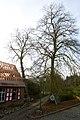 Linden , twee welkomstbomen te Zwalm - 372505 - onroerenderfgoed.jpg