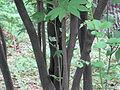 Lindera triloba(Bark).jpg
