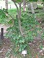 Lindera triloba3.jpg