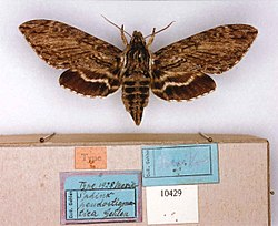 Lintneria pseudostigmatica (MS lectotype) (Mexico) (CMNH) female upperside and labels.jpg