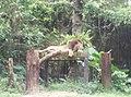 Lion in Zoo Negara Malaysia (4).jpg