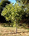 Liriodendron tulipifera under drought stress near Sidney, British Columbia.JPG