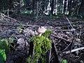 Liten stubbe med liten svamp - panoramio.jpg