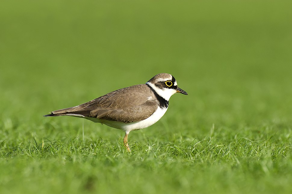 Little Ringedplover by Sreedev Puthur
