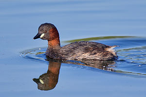Little grebe - In breeding plumage