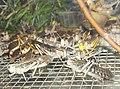 Locusta migratoria Саранча.jpg
