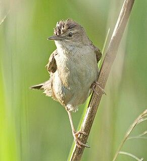 Savis warbler species of bird