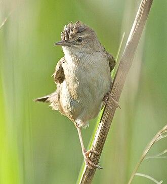 Savi's warbler - Image: Locustellaluscinioid es