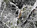 Lom grane sibirskog bresta od snega.JPG