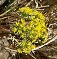 Lomatium parryi 8.jpg