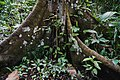 Lombi tree buttress roots in Semuliki National Park - 1 Feb 2020.jpg