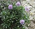 Lomelosia cretica RF.jpg