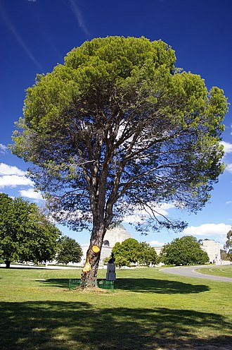 Australian War Memorial - The tree planted at the war memorial in 1934 as a memorial to the WWI Battle of Lone Pine.
