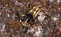 Longhorn Beetle (Xylorhiza adusta) (8753376969).jpg
