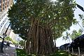 Looking up the banyan tree in Waikiki (29411145821).jpg