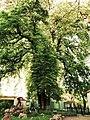 Mühlhausen's 5-stemmed chestnut-tree.JPG