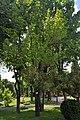 Magnolia Kobus Bandery 12 RB.jpg