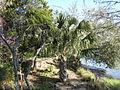 Magnolia Plantation and Gardens - Charleston, South Carolina (8556502010).jpg