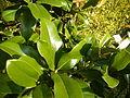 Magnolia grandiflora (9).JPG