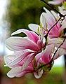 Magnolias (7173315680).jpg