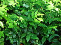 Mahonia aquifolium 01.JPG