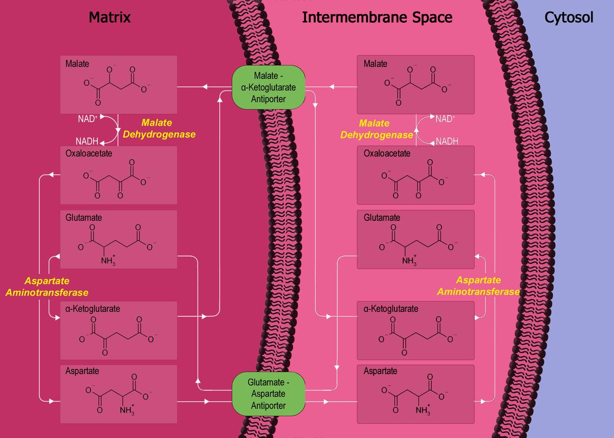 Malate-aspartate Shuttle