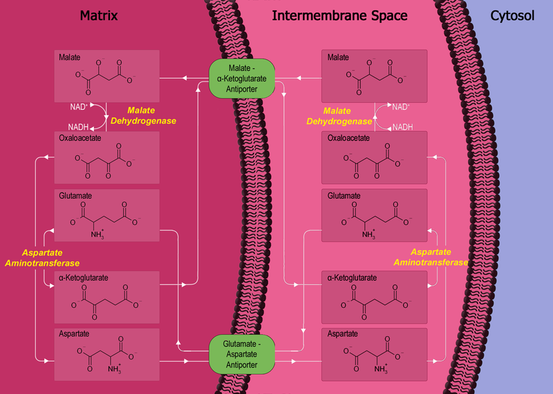 Soubor:Malate-aspartate shuttle.png