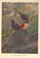 Malayan Crestless Fireback by George Edward Lodge.png