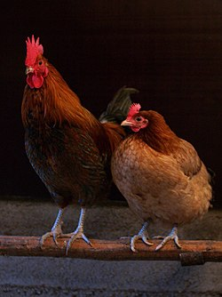 Male and female chicken sitting together.jpg