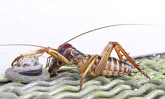 Weta - Male Wellington tree wētā