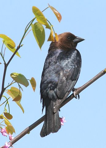 Wikipedia: Brown-headed Cowbird (Male)