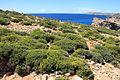 Malta - Ghajnsielem - Comino - Euphorbia melitensis 04 ies.jpg