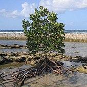 Mangrove Wikipedia