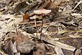 Marasmius pulcherripes 01.jpg