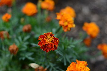English: marigolds in summer, afternoon, langl...