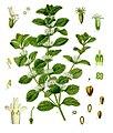Marrubium vulgare - Köhler–s Medizinal-Pflanzen-224.jpg