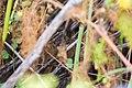 Marsh wren (36527750805).jpg