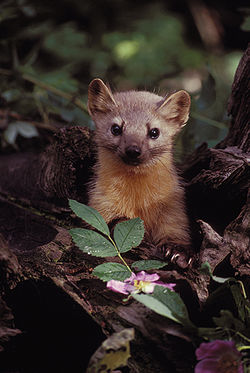 250px-Marten_with_Flowers.jpg