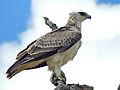 Martial eagle (Polemaetus bellicosus) juvenile (13816501623).jpg