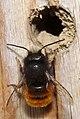 Mason bee at her future home (33382359145).jpg