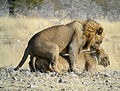 Mating Lion, Etosha National Park, Namibia (3906689964).jpg