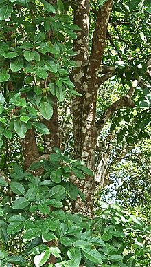 Mature Santol tree in the Philippines -- 2.jpg